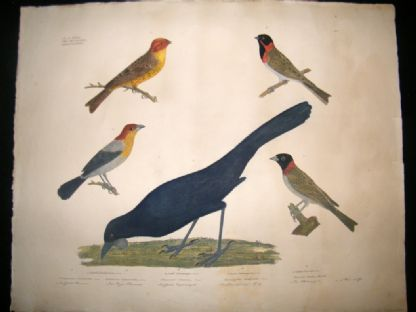 Goldfuss C1830 LG Folio Hand Colored Bird Print. Buntings, Tangara | Albion Prints